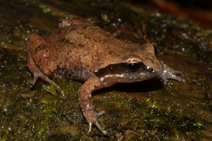 Hogsback Chirping Frog (Anhydrophryne rattrayi) (3)
